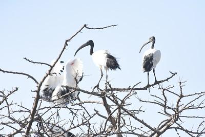 A 6 Hamerkop,Ibis,Spoonbill-Ibis,Löffler