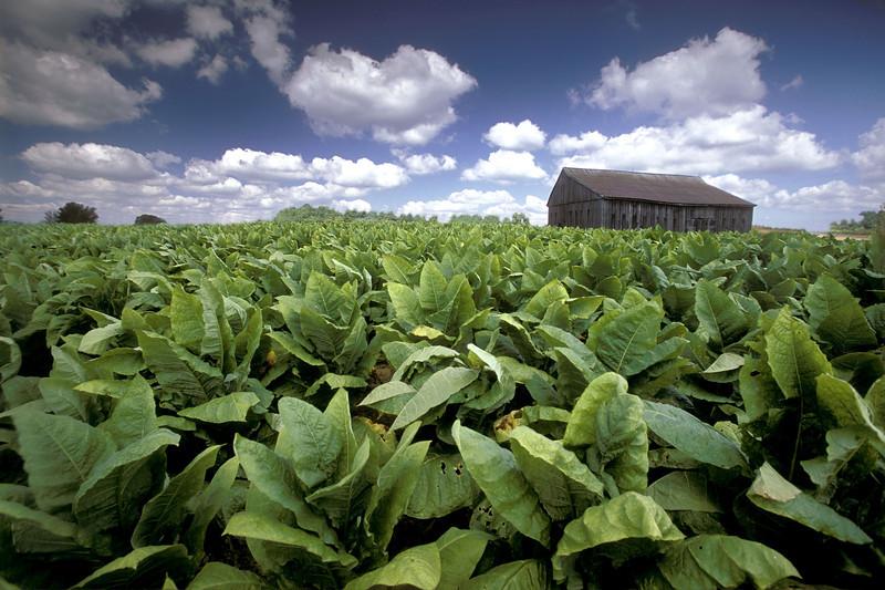 tobaco field with barn.jpg
