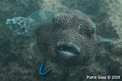 Starry Pufferfish