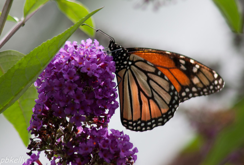 8/15.  Glad to have a few Monarchs back at the Butterfly Bush.
