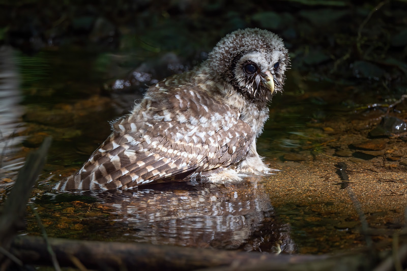 #1255 Barred Owlet