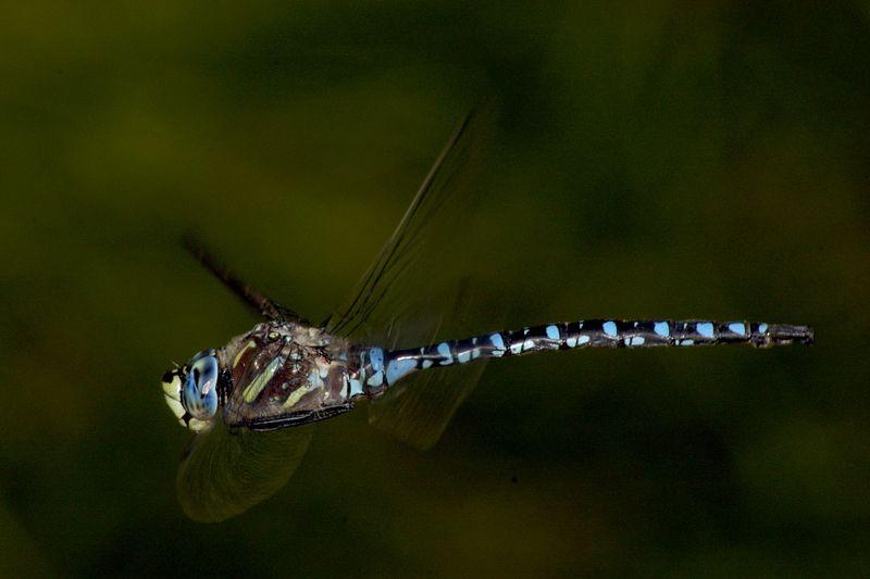 bluedragonflyinflight.jpg