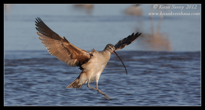 Long-billed Curlew landing, Robb Field, San Diego River, San Diego County, California, February 2012