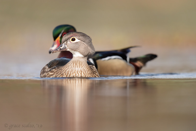 WoodDuckPair.jpg
