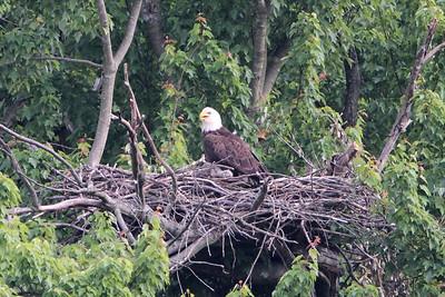 Huntingburg Eagle Nest - April 29