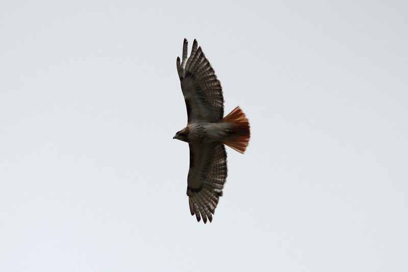 Red-tailed Hawk @ Columbia Bottom CA