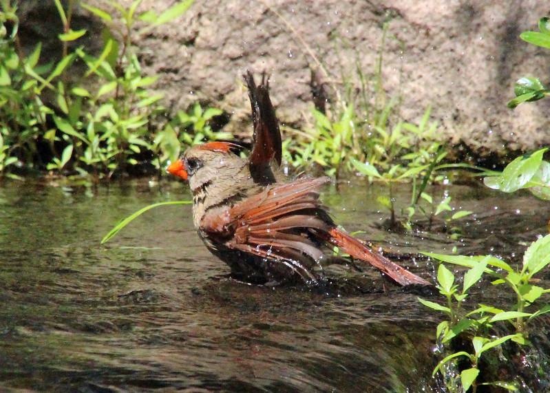 Cardinal bathing 2
