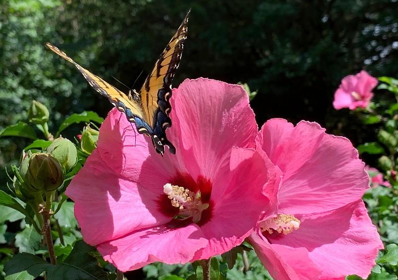 Butterfly-sharpen.jpg