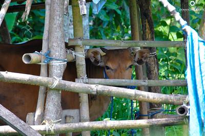Cows-1-1