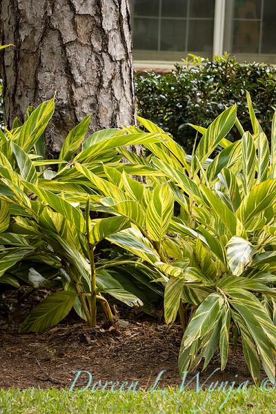 Alpinia zerumbet 'Variegata' shell ginger landscape_2054.jpg