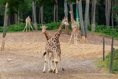 Dieren Giraffe