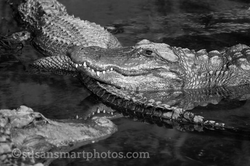 Lazy Gators