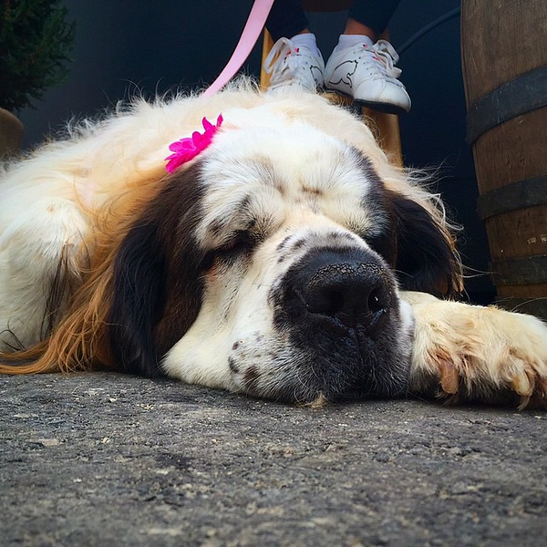 This is Lucy (@ladylucygoose) a rescue St. Bernard taking a rest from her @mophie recharging responsibilities at #sxsw today