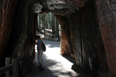 08 2006 - Yosemite Sequoias Trees