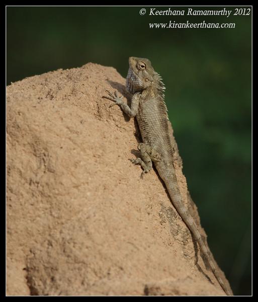 Variable Agama, Chamundi Hills, Mysore, Karnataka, India, May 2012
