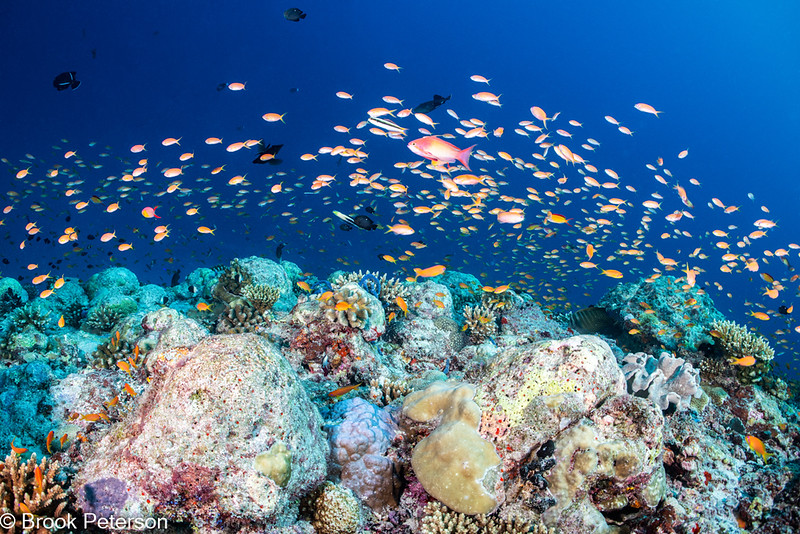 Anthias over a Coral Reef