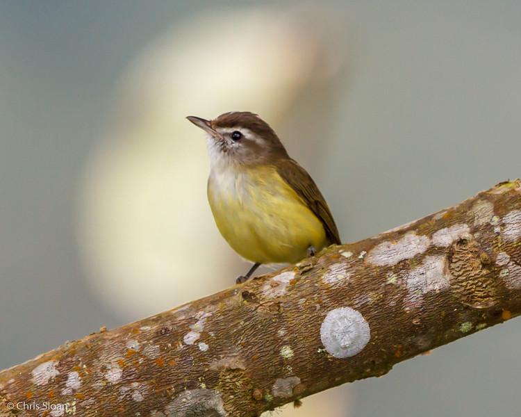 Brown-capped Vireo at Refugio Paz de las Aves, Ecuador (03-06-2014) 029-98.jpg