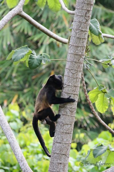 Climbing Howler Monkey.jpg