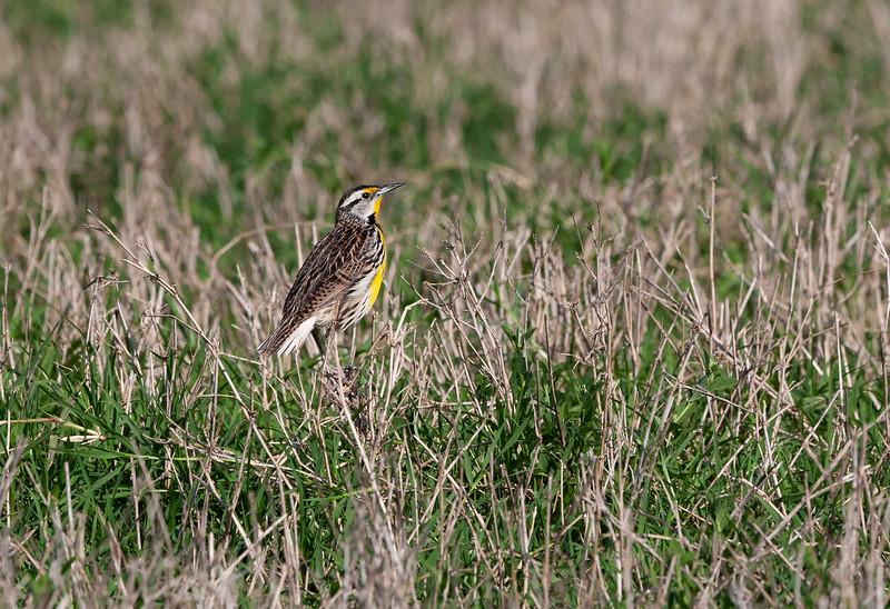 Eastern Meadow Lark