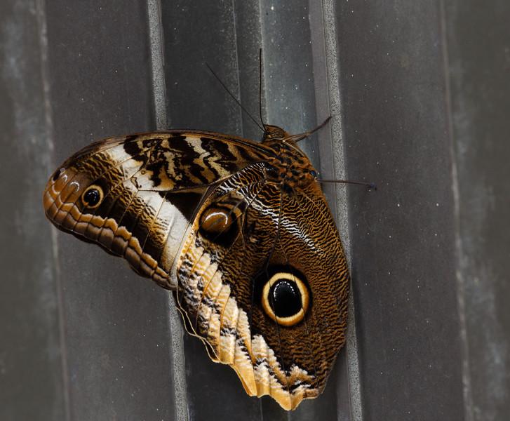 Owl Butterfly-7739.jpg