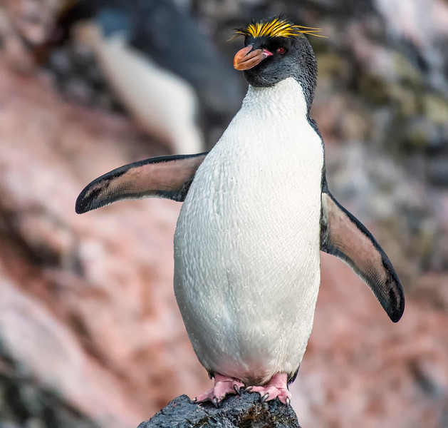 Penguins_Macaroni_Elsehul-10.jpg