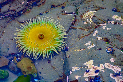 Giant green anemone at Fitzgerald Marine Reserve.  More at xhttp://bit.ly/2moA6Yk