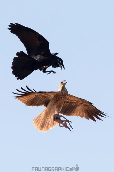 Whistling Kite vs Australian Raven