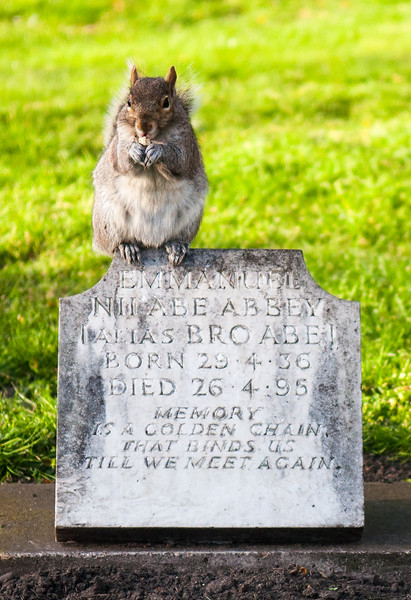 Grey squirrel on a grave stone