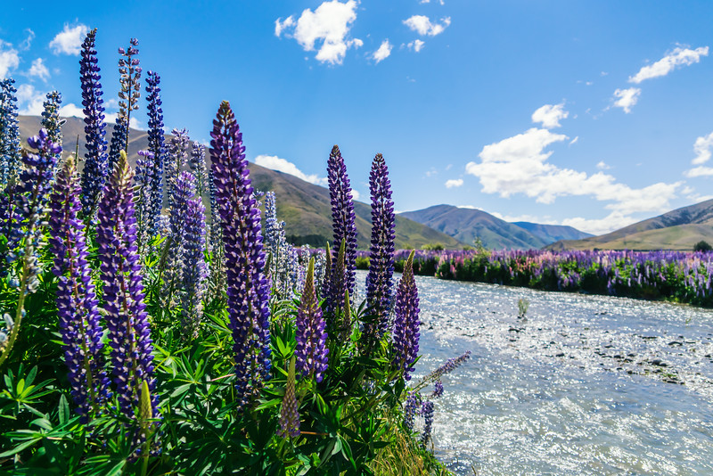 lupins-river-summer-new-zealand.jpg