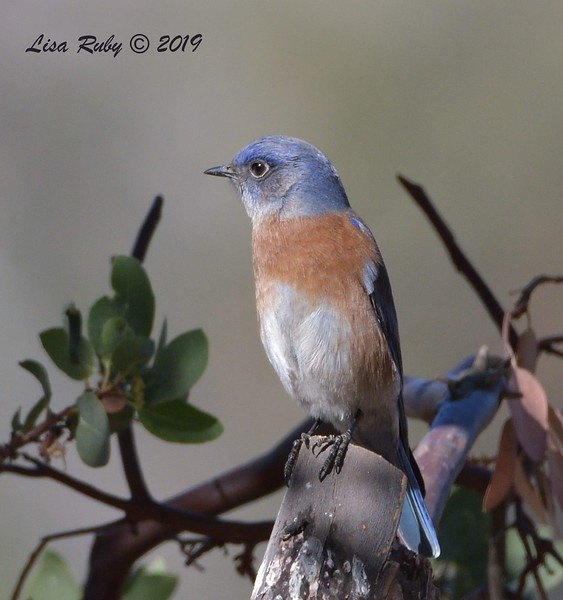 Western Bluebird  - 11/10/2019 - Garden and Sycamore Canyon Roads