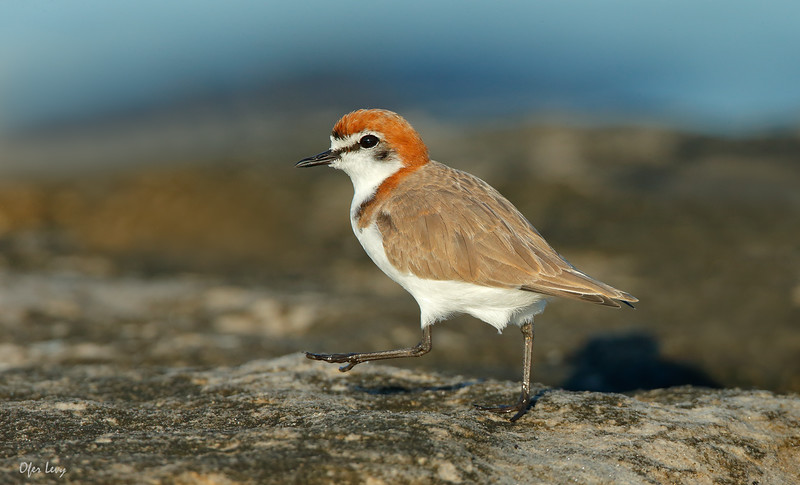 Red capped Plover 4.jpg