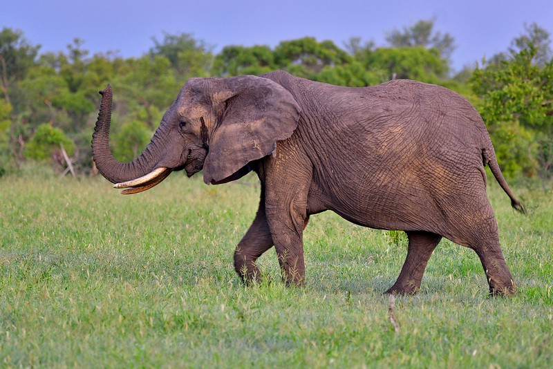 Elephant Mid Shot
