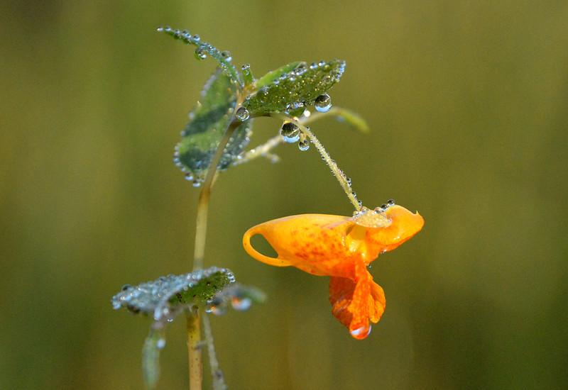 Impatiens-capensis-ohio-september-morning-dew.jpg