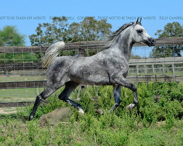 Egyptian Stallion