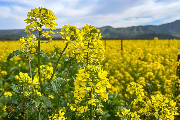 Mustard in Napa Valley Vineyards