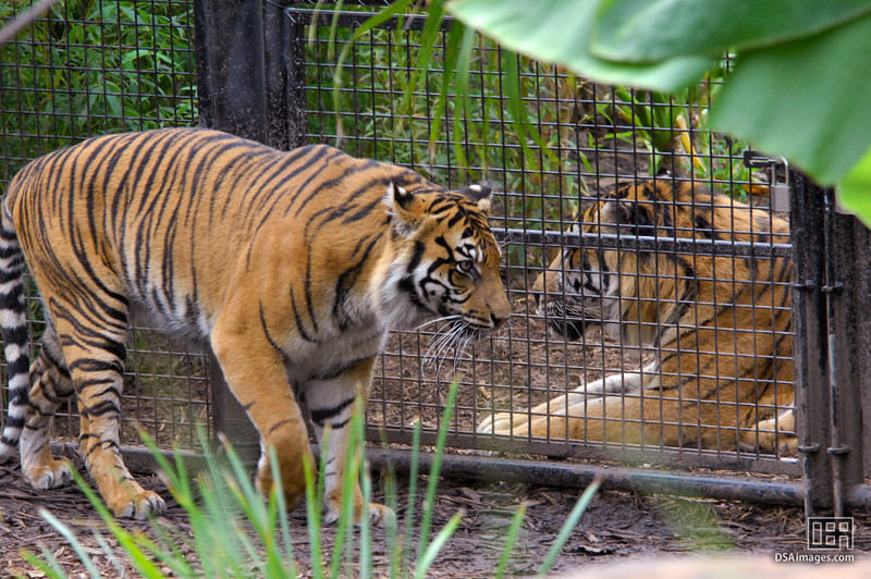 Female and male Sumatran Tigers at the Adelaide Zoo