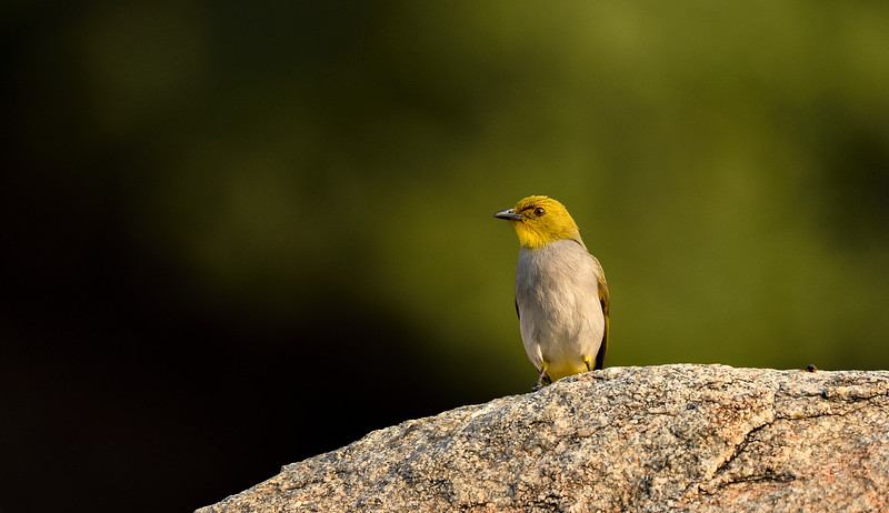 Yellow-throated-bulbul-hampi.jpg