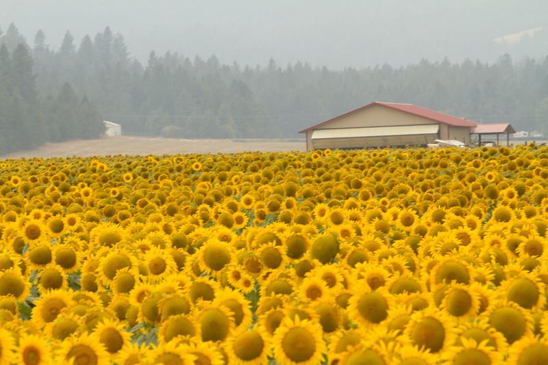 sun flowers-3909.jpg