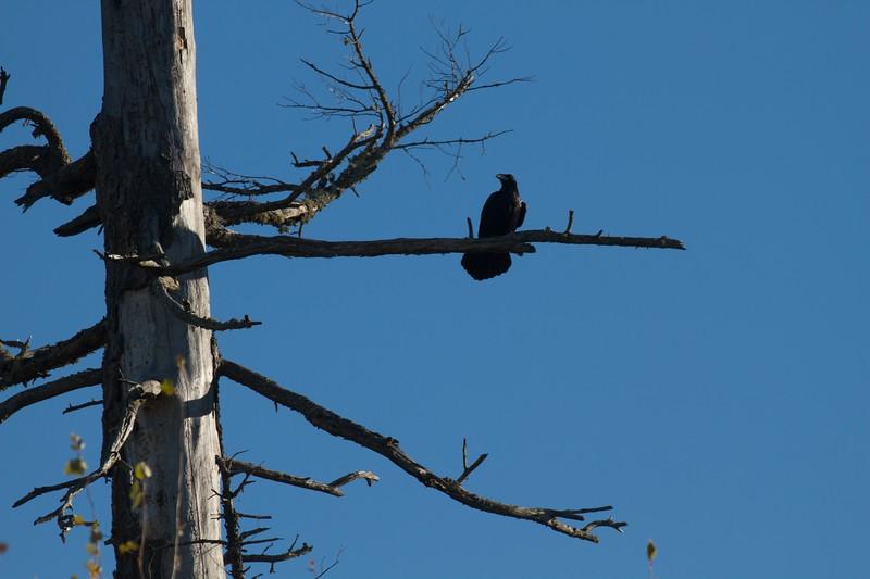 Common Raven Superior National Forest Lake Co MN IMG_0066708.jpg