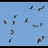Swifts on the Wing, Maun, Botswana, 2010