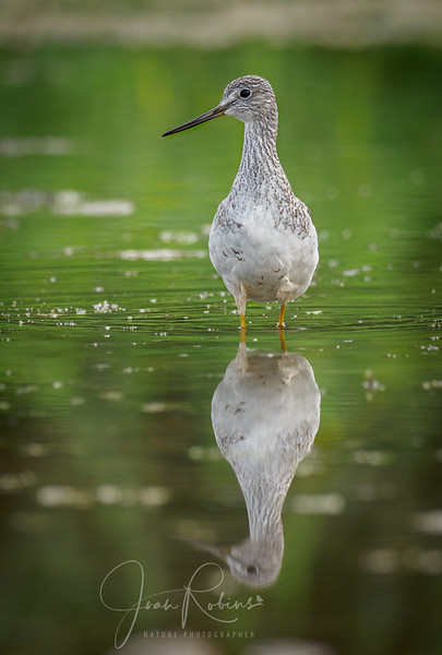 Greater ? Yellowlegs