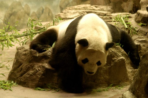 ZOO SPECIAL ...PANDA BEAR