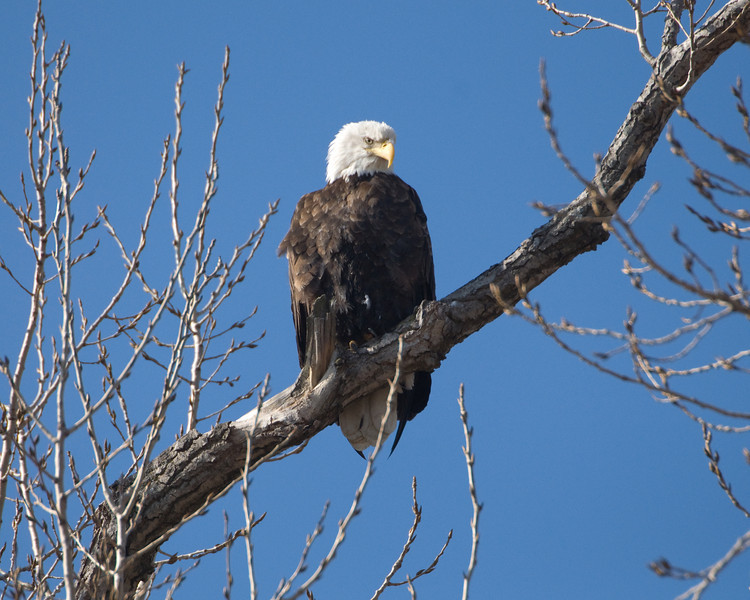 Bald Eagle 2603