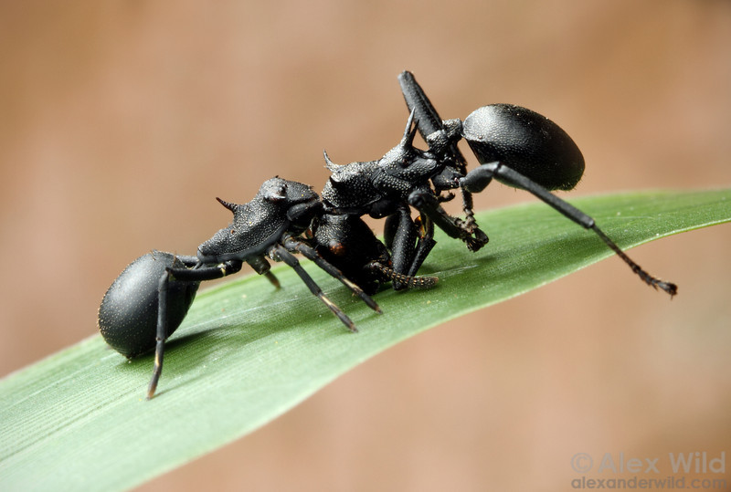 Aphantochilus rogersi (left) is a convincing mimic of its prey, turtle ants in the genus Cephalotes.  Archidona, Napo, Ecuador