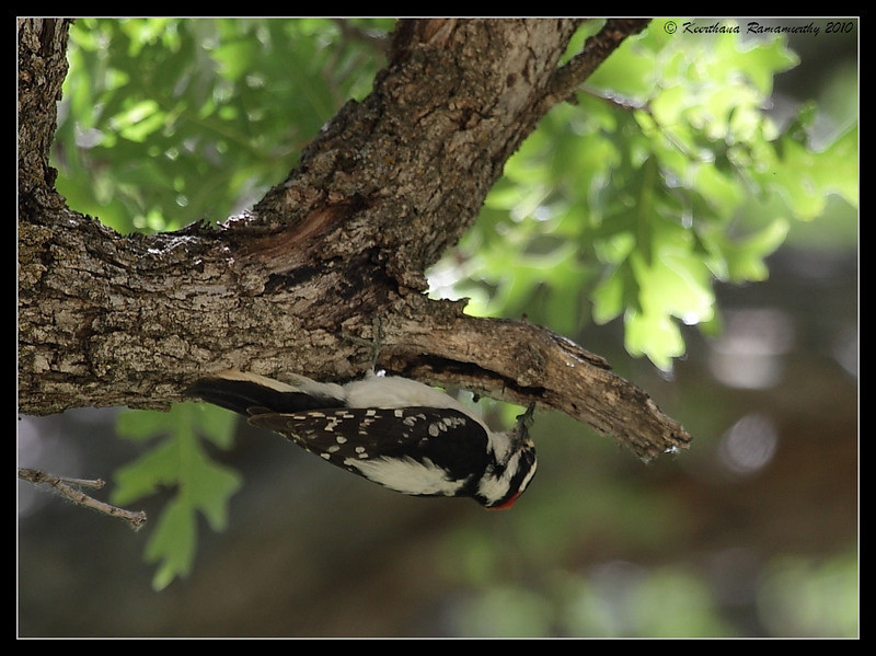 Male Downy Woodpecker with feed, Zion National Park, Utah, May 2010