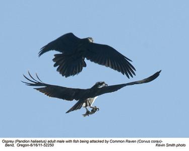 Osprey&Raven52250.jpg