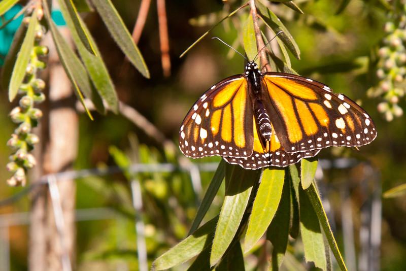 *Monarch-Asilomar.jpg