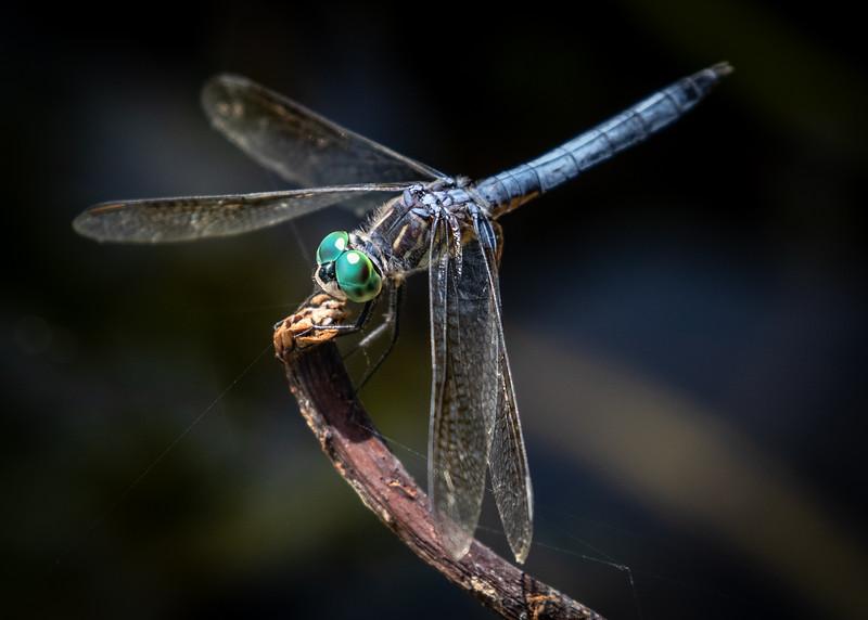 Chalfant_Kelly_L_Dragonfly2_WWKnight_02.jpg