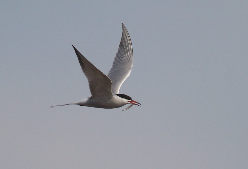 Common Tern Wisconsin Point Superior WI IMG_1519.jpg