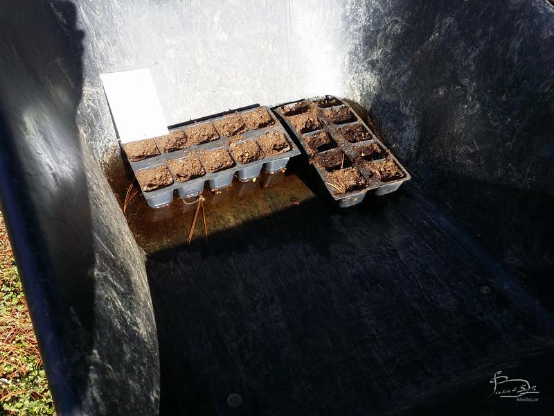 watering in moonflower seeds